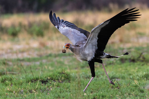 Secretary Bird with Animal Dung in its Beak