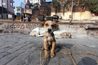 A stray puppy mingles with goats near Harish Chandra burning ghat, Varanasi, India.