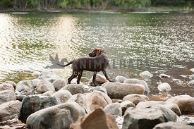 young chocolate lab standing on rocks at the lake shore with head turned