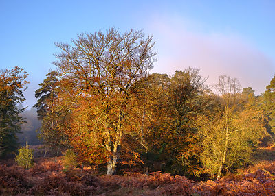 Autumn with early sunlight on the brightly coloured foliage of the bracken, Beech and Oak trees, mist is forming from the warming morning sun. New Forest, Hampshire, UK.