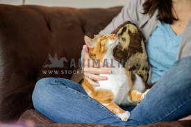 cat enjoying being rubbed on owners lap