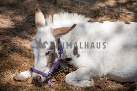 mini horse laying on straw with harness