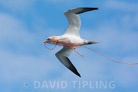 Norrhern Gannet Morus bassanus carrying rope for nest back to colony at Hermaness, Unst. Shetland, June