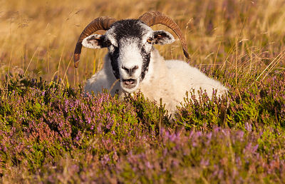 Sheep on heather on Higger Tor
