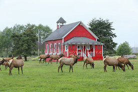 Elk family in front of red barn