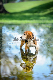 beagle in pond with reflection