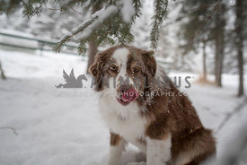 Cute snowy dog sticking tongue out at camera