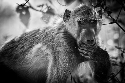 8126-Baboon_has_something_to_say_Botswana_2009_Laurent_Baheux