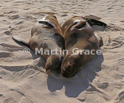 Two Galapagos Sea Lions (Zalophus californianus wollebacki or wollebaeki) asleep together on the beach at Cerro Brujo, San Cr...