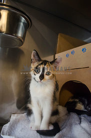 A Calico kitten sits in its cage at the animal shelter