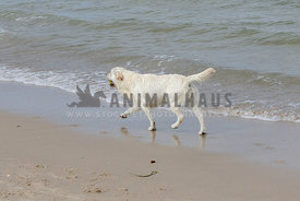 White Golden Retriever trotting across camera, tail up, on beach, paws reflecting in sand, plain background.