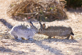 Two bunnies kiss in the desert