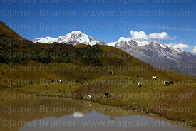 Cattle grazing next to Laguna Pacha Khota, Mts Illampu (L) and Ancohuma (R) in background, Cordillera Real, Bolivia