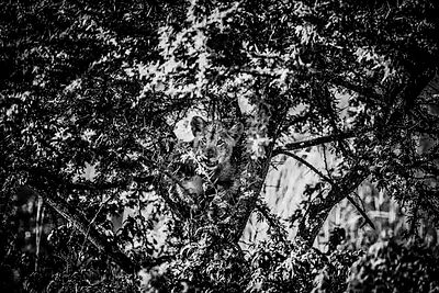 2797-Lion_cub_in_an_acacia_tree_Laurent_Baheux