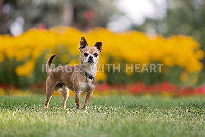 Chihuahua in front of flowers