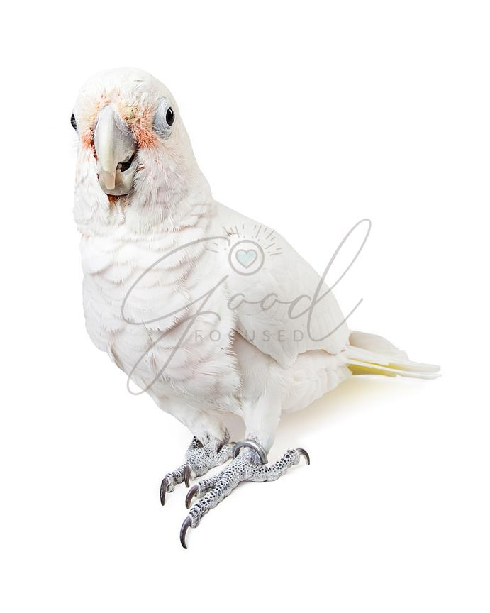 Beautiful White Cockatoo Bird Looking Forward