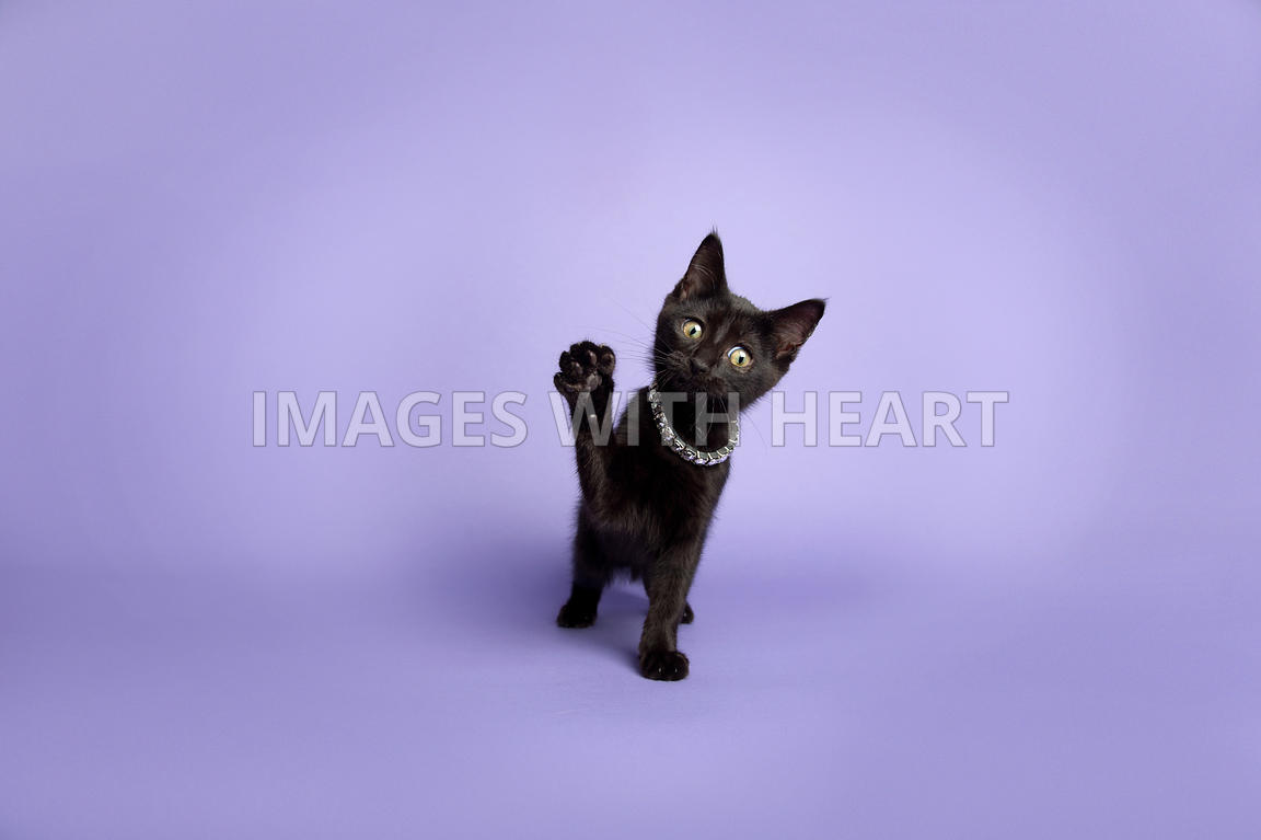 black kitten with one paw raised
