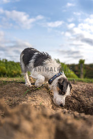 Jack Russell Terrier investigating a deep hole in the ground on a farm