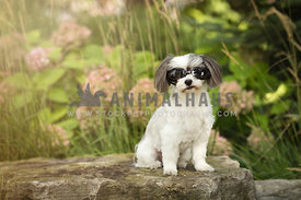 shih tzu dog with sunglasses on rock