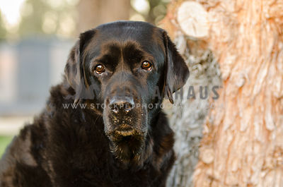 thoughtful black labrador against tree trunk in evening light