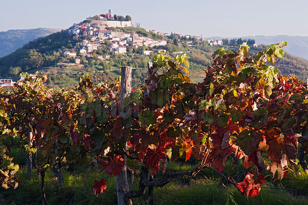 Istrian Hill Town of Motovun and Grapevines with Autumn Foliage, Istria, Croatia