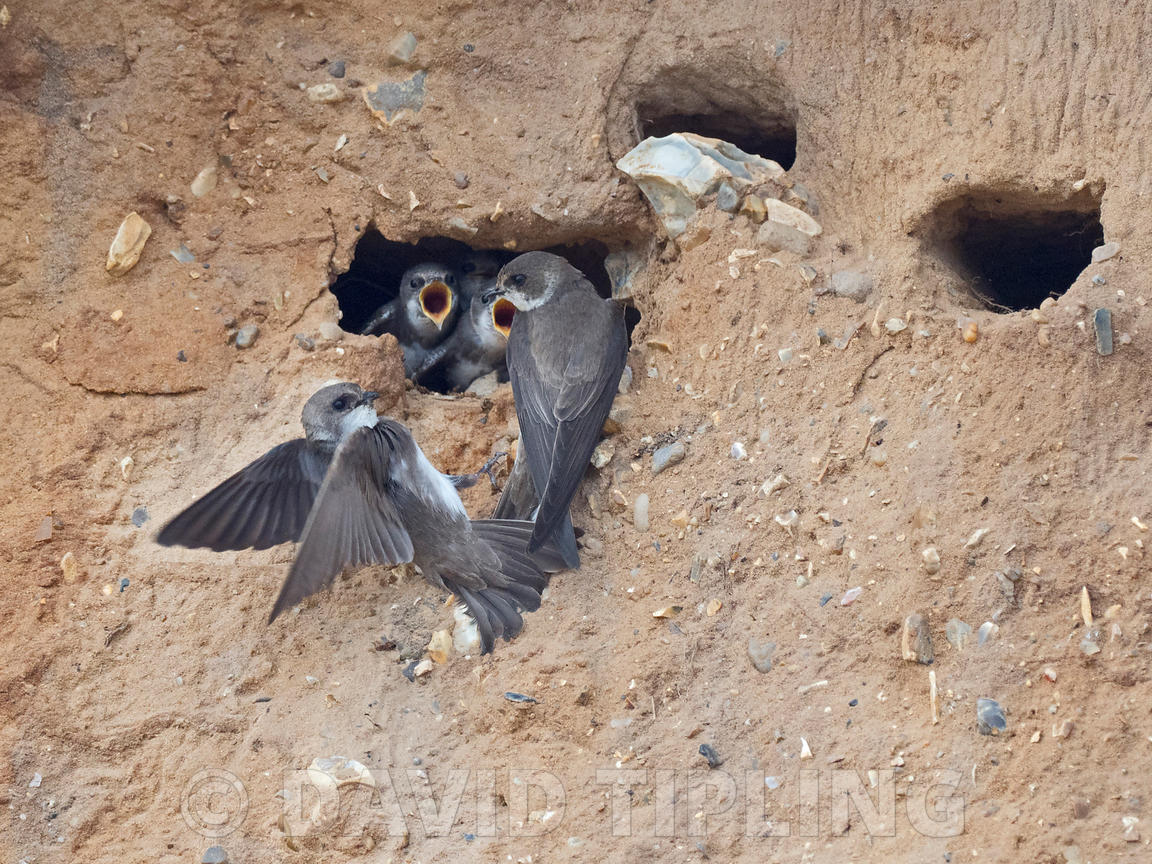 Sand Martin Riparia riparia.colony in cliff face North Norfolk summer