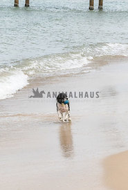Black and white medium size designer breed running on beach carrying a blue ball in mouth.