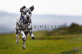 Dalmatian Dog running towards camera