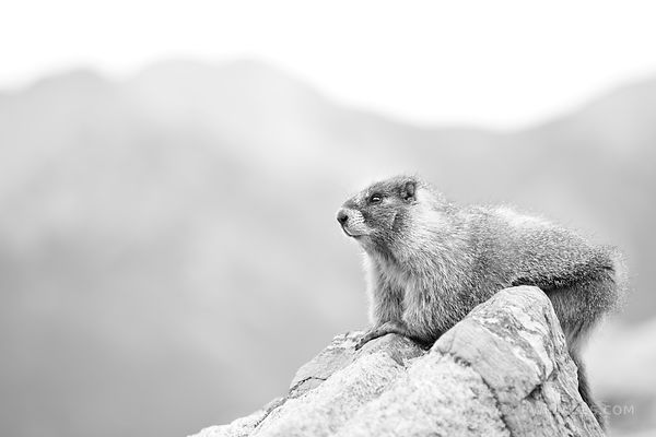 MARMOT ROCKY MOUNTAIN NATIONAL PARK COLORADO BLACK AND WHITE