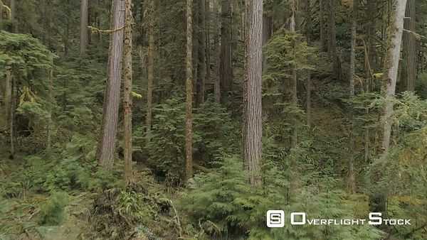 Fly Thru Coniferous Forest near Port Angeles, Washington State