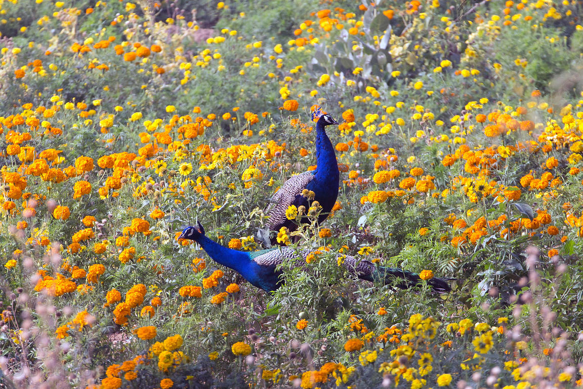 Wild male peacocks in a field of marigolds, Amba village, Rajasthan, India