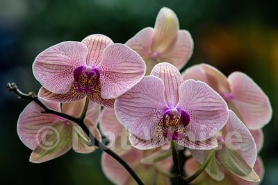Orchid_phalaenopsis-9586_October_07_2018_NAT_WHITE