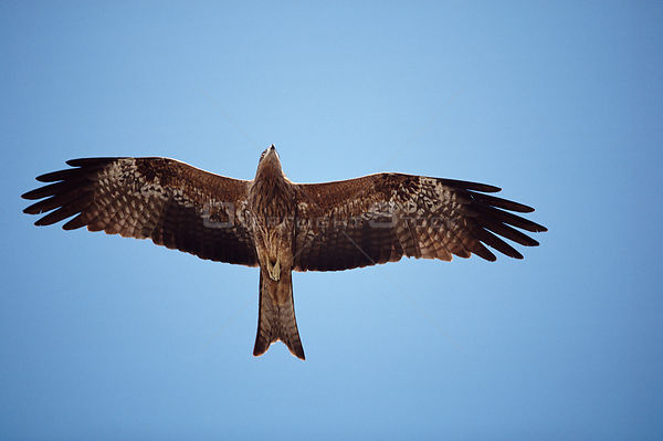 Black kite soaring {Milvus migrans} Bombay, India
