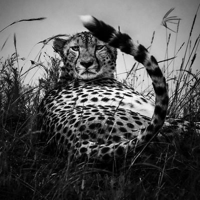 03318-Proud_cheetah_Kenya_2018_Laurent_Baheux
