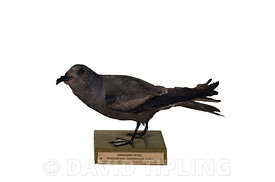 Guadalupe storm petrel (Oceanodroma macrodactyla) mounted specimen of species now considered extinct