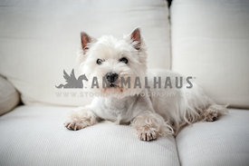 Groomed Westhighland White Terrier lying on a white sofa indoors