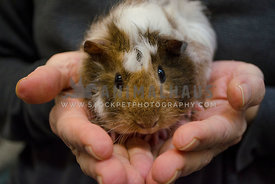 A fluffy guinea pig pup is held in two caucasian hands