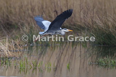 Grey Heron (Ardea cinerea) in flight,  Leighton Moss (RSPB),  Carnforth, Lancashire, England