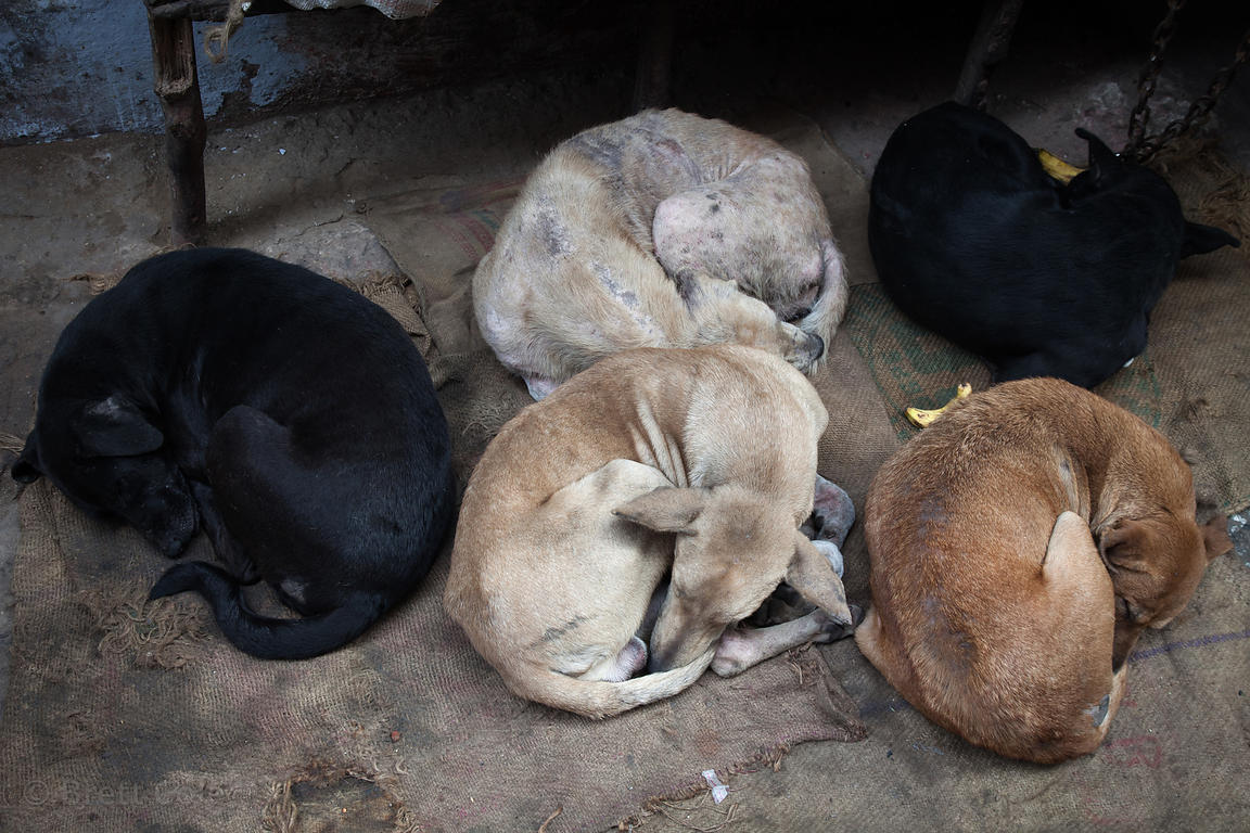 Four dogs sleep on the street in the Paharganj area of Delhi, India