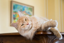 Red Silver Tabby Maine Coon Cat Lying on Table on side with paws out