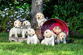 yellow labrador retriever puppies on lawn with red pan behind them