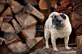 pug standing on woodpile sticking out tongue
