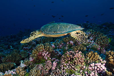Diving with turtles along Rangiroa's reef in Tuamotu islands