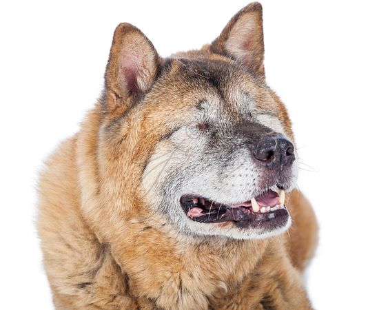 Closeup of Blind Akita Dog