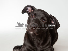 Close up of young black puppy isolated on white background
