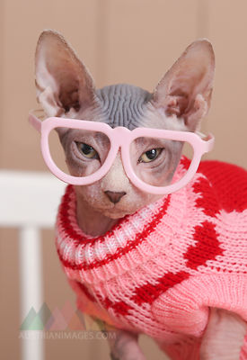 Portrait of Sphynx cat wearing pink pullover and funny glasses