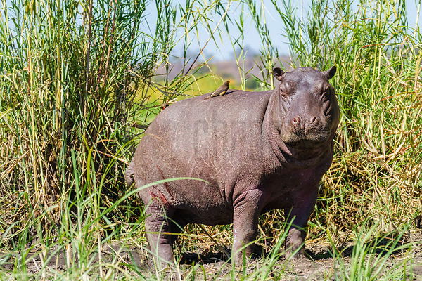 Hippo in Reeds