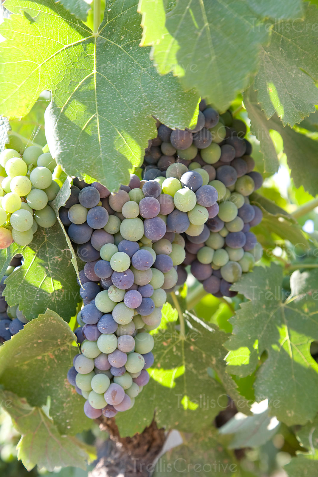 Red grape clusters ripen during verasion