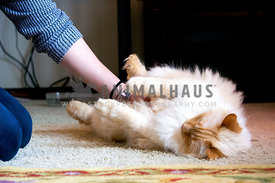 Long haired yellow cat enjoying belly rub