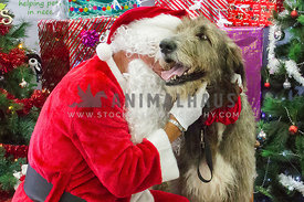 Santa with his head buried into dog. Wire-haired.